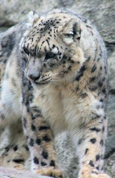 Slowly Leopard
