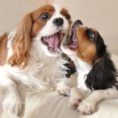 CAVALIER'S   singing together !