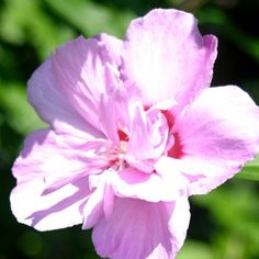 Flower Pink Purple #shopsmall BUY NOW $3.00