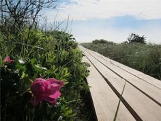 Boardwalk is lined with Rosa rugosa and beach grasses - Orleans, Cape Cod