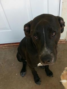 ***URGENT! 10/1/16  Diesel is a great dog, half pit bull and half lab. Fairly small & probably fully grown. Great w/ people & little kids. Crate & house trained, sits & shakes on command. He waits by the door when he wants to go outside. He has all of his shots and he is neutered. His family say they hate to give him up, but have a new baby don't have the time for him that he deserves.