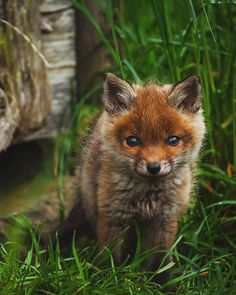 Red fox cub. Photo: Florian Warnecke. Squeeee! It looks like a little kittydog.