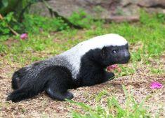 adorable honey badger cub :]