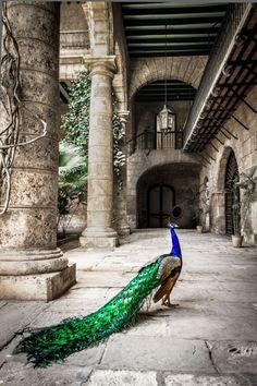Peacock Feathers - Courtyard Hardscape - Havana Cuba - Bold Color - Travel Destination