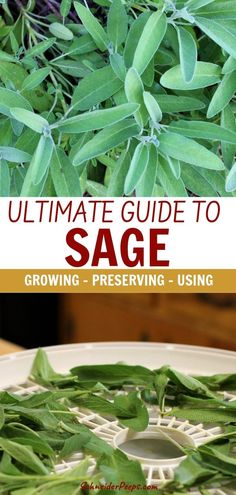 , Sage is a great addition to the backyard herb garden and to the made from scratch kitchen. Sage isn't just for turkey dressing either! Sage can be als. , Ultimate Guide to Growing and Using Sage Organic Gardening, Gardening Tips, Vegetable Gardening, Urban Gardening, Cottage Rose, Clean Out, Decoration Plante, Healthy Herbs, Toner For Face
