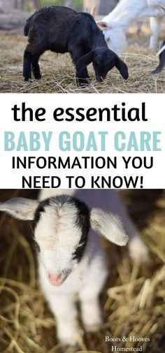 Baby goat care is very simple and taking the necessary steps, helps to provide a great and healthy start to your kid. Baby goat care is very simple and taking the necessary steps, helps to provide a great and healthy start to your kid. Raising Farm Animals, Raising Goats, Baby Animals, Funny Animals, Cute Animals, Keeping Goats, Goat Barn, Boer Goats, Nigerian Dwarf Goats