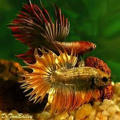 male betta fish - Yahoo Search Results Yahoo Image Search Results