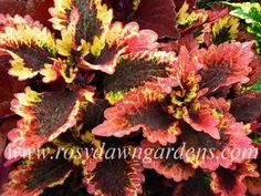 Roaring Fire Coleus | RosyDawnGardens.com : Online Coleus Plant Catalog | Rosy Dawn Gardens, | Coleus Growing Specialists
