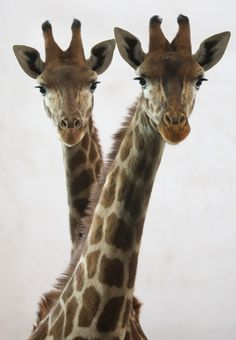 "Twin Giraffes: ""Ping Ping"" and ""An An"" in Shijiazhuang, capital of north China's Hebei Province celebrate their first birthday. Photo by Ding Lixin, xinhuanet . My favorite animals! Animals And Pets, Baby Animals, Cute Animals, Wild Animals, Baby Elephants, Beautiful Creatures, Animals Beautiful, Animals Amazing, Giraffe Art"