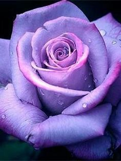 Show purple rose flowers hd wallpaper and picture. Information about purple rose flowers. Rose flowers is one of popular flower in United State. Purple-colored roses are very beautiful and luxurious look. Beautiful Flowers Photos, Flower Photos, Beautiful Roses, Pretty Flowers, Purple Flowers, Red Roses, Rose Flowers, Potted Flowers, Colorful Roses