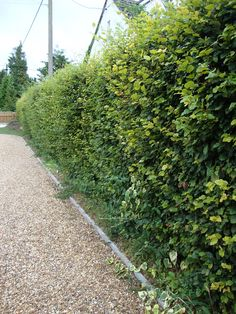 Hedges are a necessary part of every garden, providing privacy, blocking wind or even buffering noise. But most importantly edges provide structure to your garden. Hedging plants are usually budget friendly especially if you buy them bare-rooted. Hedges Landscaping, Farm Landscaping, Hedging Plants, Sloped Garden, Plants, Cool Plants, Outdoor Gardens, Hedges, Landscape