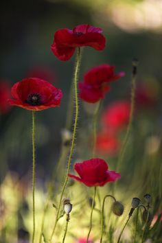 "Poppies. So delicate yet rich in color! Not to mention they remind me of one of my favorite childhood movies...  ""The Wizard of Oz!"