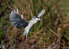 The Black Crown Night Heron