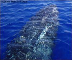Whales in Maui waters