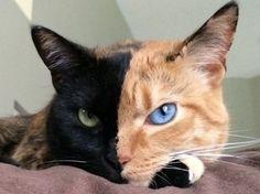 Non, cette photo n'a pas été retouchée. Ce chat a bien un côté du visage noir, avec un œil vert, et l'autre roux, avec un œil bleu. Avec près d'un million…