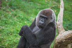 de leukste dagjes uit   gorilla zwanger