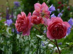 "Rose "" Boscobel "" , (Auscousin) , bred by David C. H. Austin (United Kingdom, 2012)"