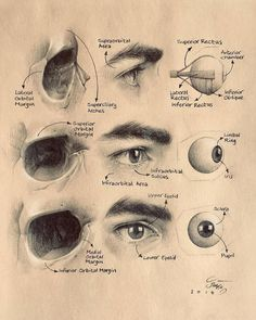 Ideas eye anatomy art awesome for 2019 Eye Anatomy, Anatomy Study, Anatomy Art, Anatomy Drawing, Anatomy Reference, Art Reference, Human Anatomy, Anatomy Organs, Heart Anatomy