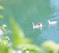 アヒルの湖