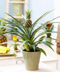 Buy ornamental pineapple Ananas comosus Corona - A ornamental pineapple makes an interesting plant for a sunny windowsill: pot - tall: Delivery by Crocus Pineapple Planting, Pineapple Growing, Baby Pineapple, Regrow Vegetables, Growing Vegetables, Fresh Vegetables, Room With Plants, Live Plants