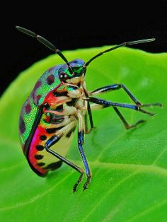 Lychee Shield Bug (Chrysocoris stolii, Scutelleridae)
