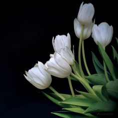 A bouquet of white tulips as snow. White Tulip Bouquet, White Tulips, Tulips Flowers, Amazing Flowers, Beautiful Flowers, Cool Wallpapers For Phones, Peonies, Daisy, Things To Come