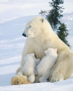 A polar bear mother feeds milk to her two cubs :: [Mammals are the only animals that can produce milk for their young]