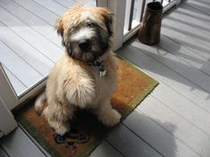 Wanna shake?  Our Wheaten Terrier puppy