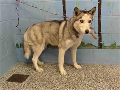 4/10/18 SAN BERNARDINO, CA RESCUE ONLY - BLIND Available 3/31 #A512592  Female Siberian Husky. I have been at the shelter since Mar 24, 2018. Please come meet me. phone: (909) 384-1304