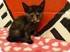 URGENT!!~~~~~Rome, GA - Domestic Shorthair. Meet 14C-0654 (6/22), a kitten for adoption. Look at this sweet face how can we let her die in this place!!~~ Please hurry to save her this is a KILL SHELTER!!~~~~http://www.adoptapet.com/pet/11025376-rome-georgia-kitten