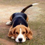 Catarina #beagles