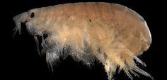 Resultado de imagen para amphipod