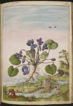 Watercolours from a 16th-Century De Materia Medica   The Public Domain Review