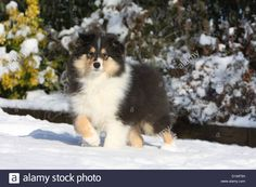 dog-rough-collie-scottish-collie-puppy-tricolor-standing-in-snow-paw-D1WF5H.jpg (1300×956)