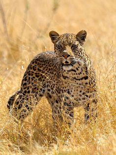 Another scary female I came across in Botswana (by John Kok)
