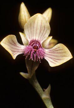 Stellilabium bergoldii