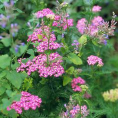 'Appleblossom' yarrow  Achillea millefolium 'Appleblossom' is a fast-spreading plant with pale pink blooms and grayish-green feathery leaves. Zones 3-9