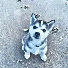 Wonderful All About The Siberian Husky Ideas. Prodigious All About The Siberian Husky Ideas. Cute Baby Animals, Animals And Pets, Funny Animals, I Love Dogs, Cute Dogs, Funny Dogs, Puppy Love, Tier Fotos, Husky Puppy