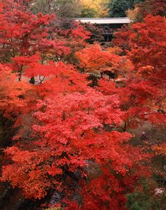 Japanese Maples(Momiji,もみじ) on the grounds of Tofuku-ji Kyoto
