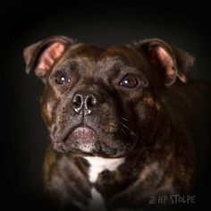 "Our Staffordshire Bull Terrier Dolly in my studio, HP Stolpe Staffy @winnie_the_staffy at Instagram Emmerdale's faith in me ""Dolly"" sbt umeå sweden nannydog laughingdog staffylove #pitbull"