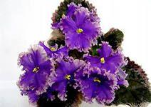 Vintage lace  Селекционер: Lyon  Размер: Стандарт  Цветок: простой пурпурный, и синий, звезда/светло-розовый край.  Розетка: пестролистная темно-зеленая и кремовая.