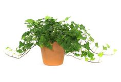 We love using live ivy in a terracotta pot in every room.