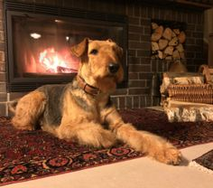 Gorgeous pictures of German Airedales