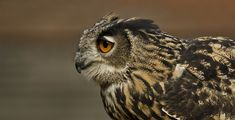 Raptor animal animal animal portrait bird bird of prey bubo bubo eagle owl eagle owl eye . Owl Bird, Pet Birds, Animals And Pets, Funny Animals, Owl Species, Long Eared Owl, Fishing Store, Owl Eyes, Animales