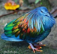 The Nicobar Pigeon (Caloenas nicobarica) is a pigeon found on small islands and in coastal regions from the Nicobar Islands, east through the Malay Archipelago, to the Solomons and Palau. It is the only living member of the genus Caloenas. ---Wikipedia
