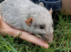 Tavey, our male silvermane dumbo rat, is now up for adoption!