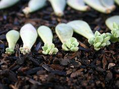 Propagate Succulents