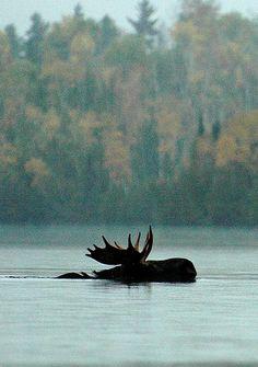 Jackson Lake, Maine -- I hope we see moose, Zane would be tickeled! Especie Animal, Mundo Animal, Beautiful Creatures, Animals Beautiful, Cute Animals, Baby Animals, Moose Pictures, Animal Pictures, Wild Life