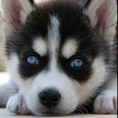Clint has no idea he is getting an identical looking puppy like this for our 2 year anniversary... Sshhhh ;)