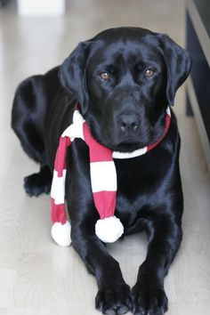 Festive Black Lab Looks like our Dottie when she was young. Then she sent us LEXY to pick up where she left off! Beautiful just like Dottie was! #LabradorRetriever